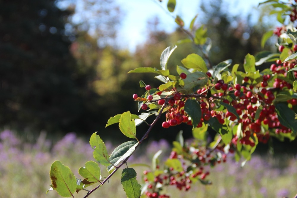 Fall berries at the base of Mt. Philo.
