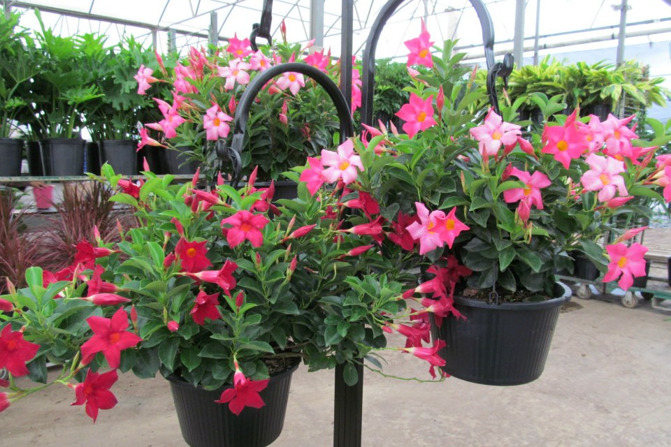Potted Flowering