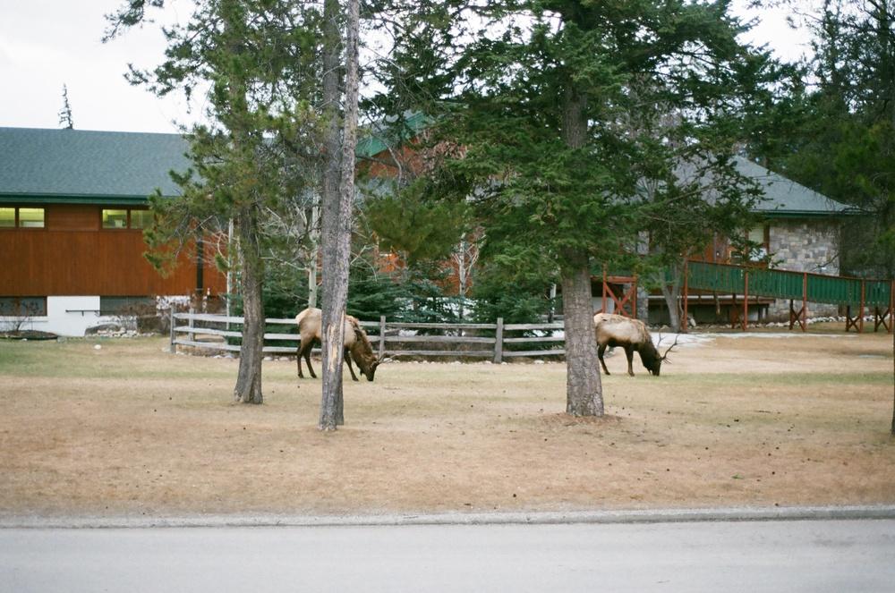 Jasper park lodge, jasper alberta, alberta, jasper tourism, fairmont hotel