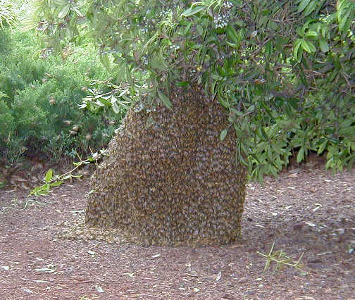honey-bee-swarm1.jpg