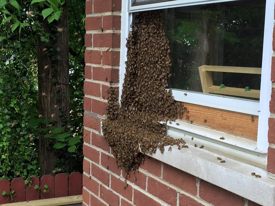 This swarm landed on our bedroom window.