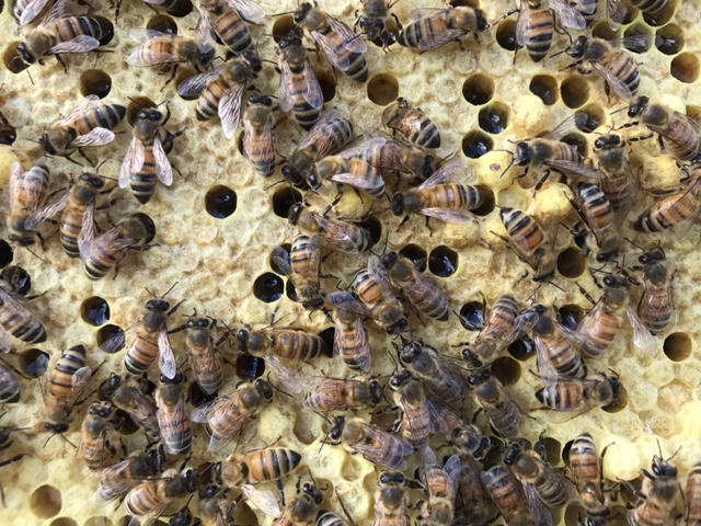 Frame of Brood Honeybee babies Host A Hive Gaiser Bee Co.