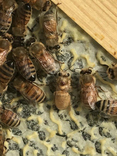 cincinnati bees — HOST A HIVE BLOG — Gaiser Bee Co