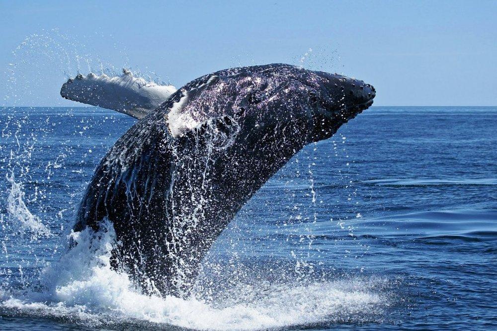 whale_breach-1024x682.jpg
