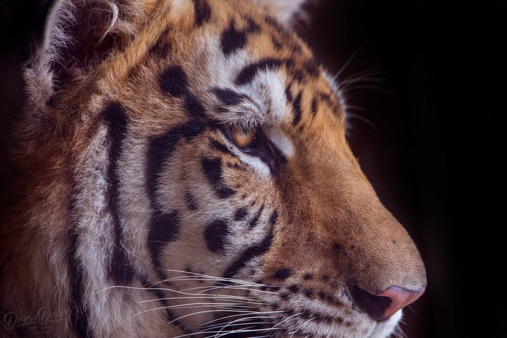 Tiger-World-IMG_5728-website-Edit.jpg