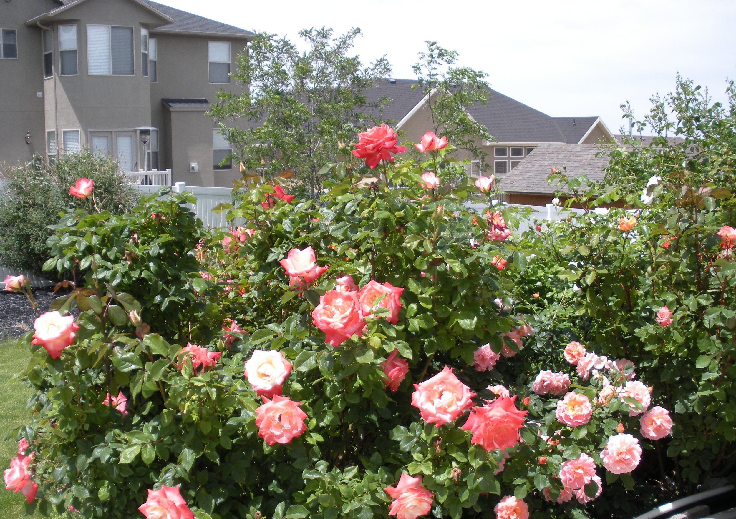 The rose garden outside my office in Herriman