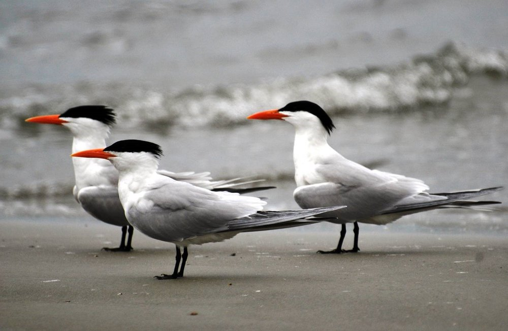 sea gulls with hats.jpg