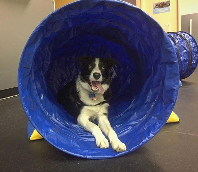 Harvey had a blast practicing his agility with us!  #agility #dogtraining #bordercollie