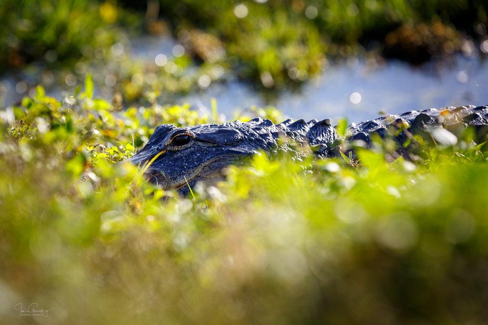 Gator-1.jpg