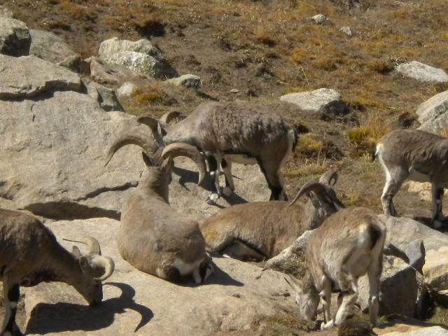 Bharal - Mountain sheep at  Tapovan 4400m..JPG