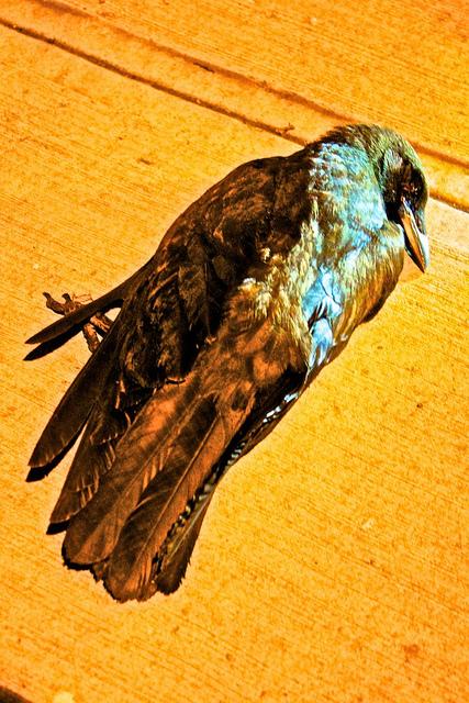 dead_crow.jpg