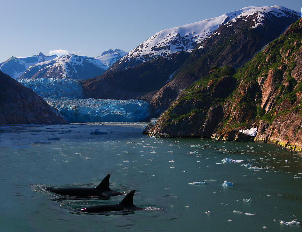 Two transient orcas make their way through an Alaskan fjord/Rennett Stowe/Wikimedia Commons/Creative Commons Attribution 2.0 Generic
