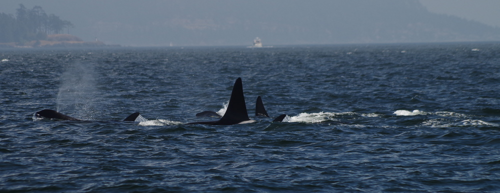 Southern Resident Orcas of the Pacific Northwest/Elizabeth Batt/All Rights Reserved