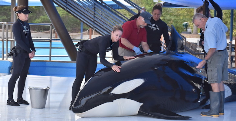 Unna receives treatment from SeaWorld. Image: Copyright  SeaWorld.com