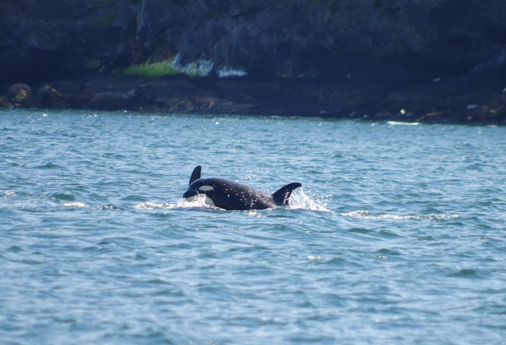 The SRKW Community is in dire straits. They need your help now. Photo: Elizabeth Batt. All rights reserved.