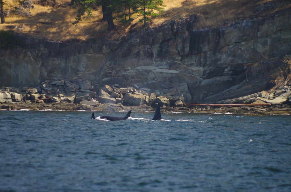 Southern Resident Killer Whales/San Juan Island, WA. Elizabeth Batt/All Rights Reserved