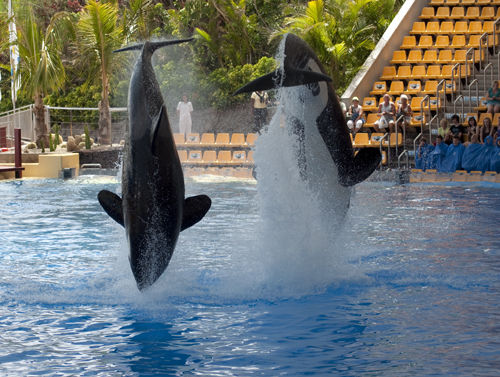 SeaWorld orcas perform at Loro Parque. Image: Jonesemyr/Attribution-NoDerivs 2.0 Generic (CC BY-ND 2.0)/Flickr.com