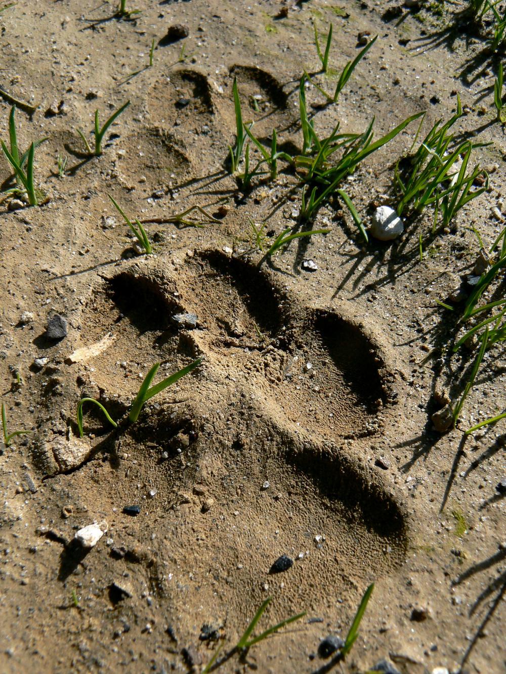 Bobcat track, Black Diamond Mines Regional Preserve.