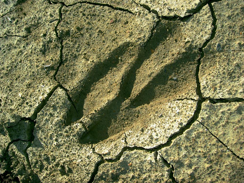 Deer track, Los Vaqueros Watershed.