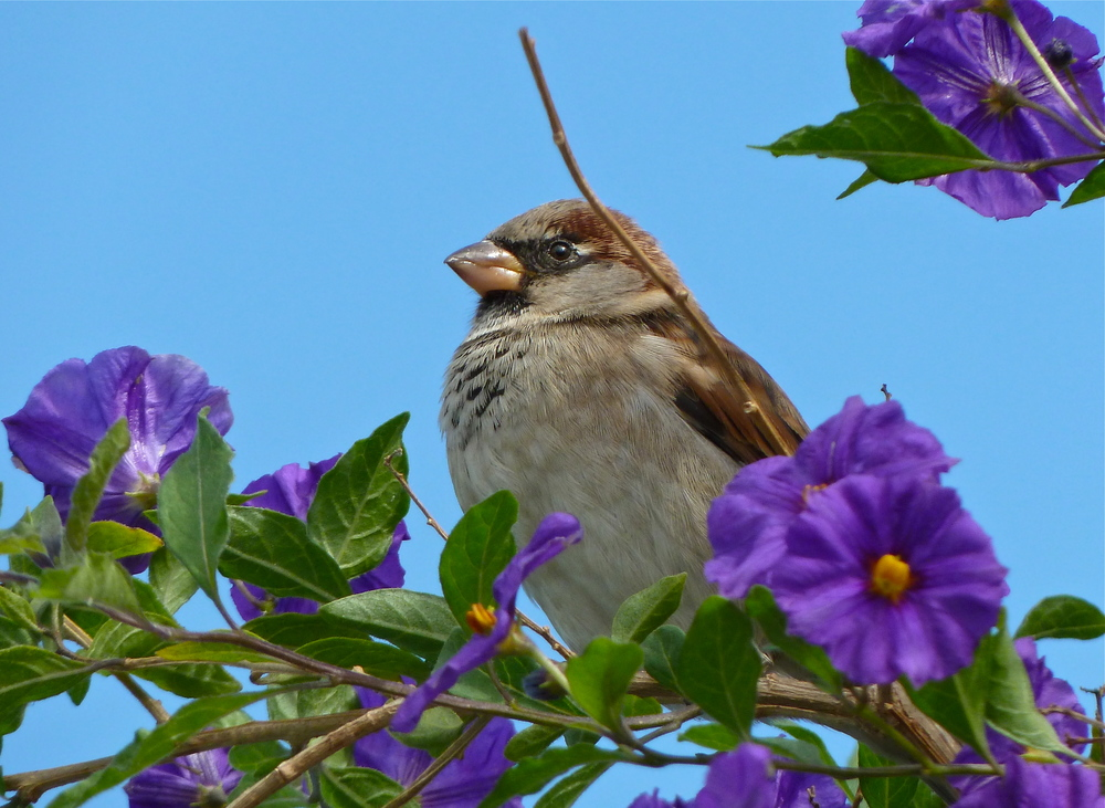A sparrow perches on nightshade along the Embarcadero, San Francisco.