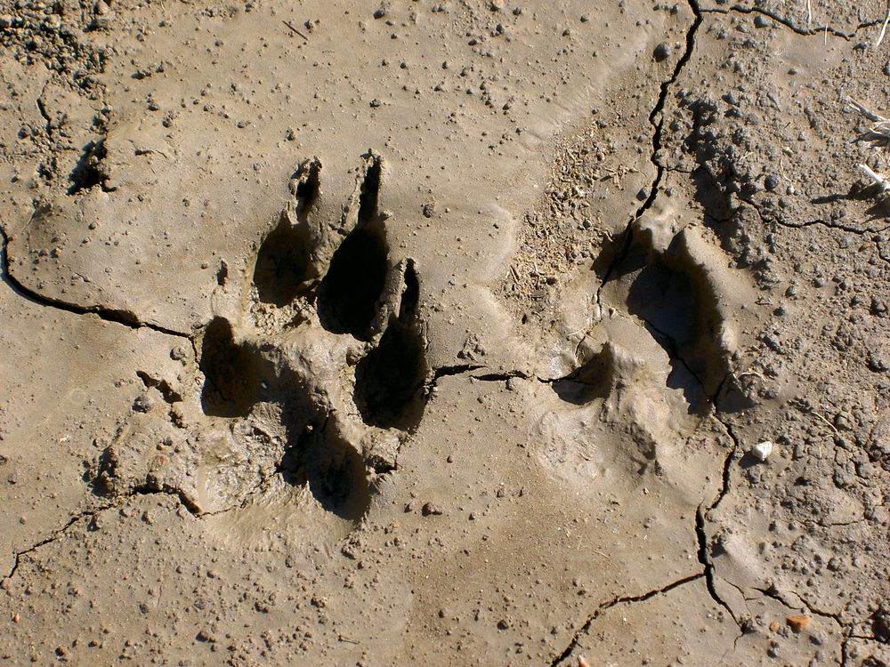 Coyote track, Los Vaqueros Watershed.