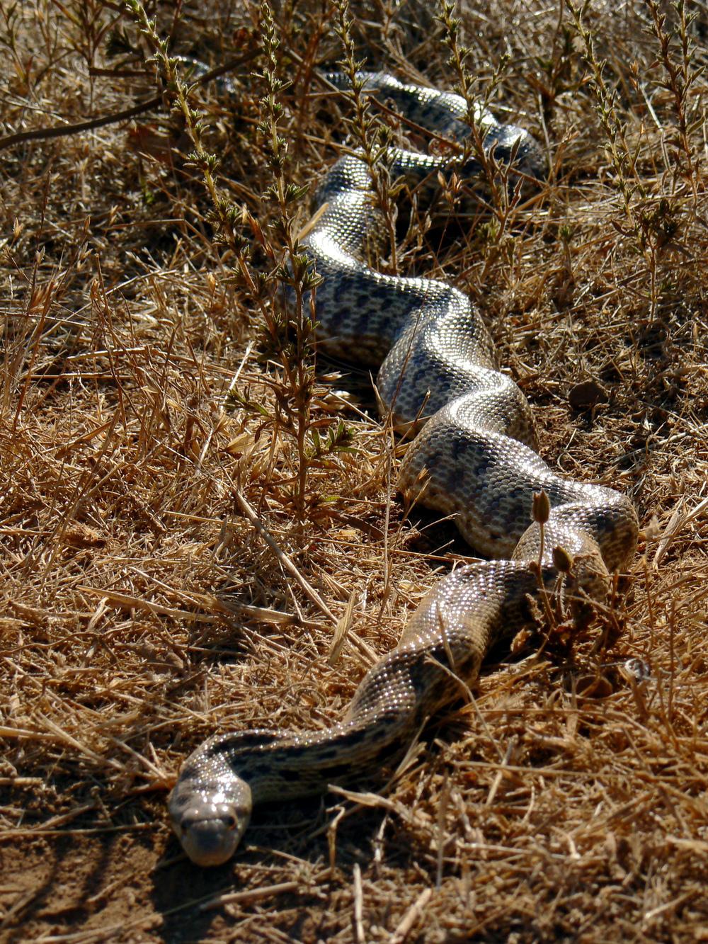 Gopher snake, Mt. Diablo State Park.
