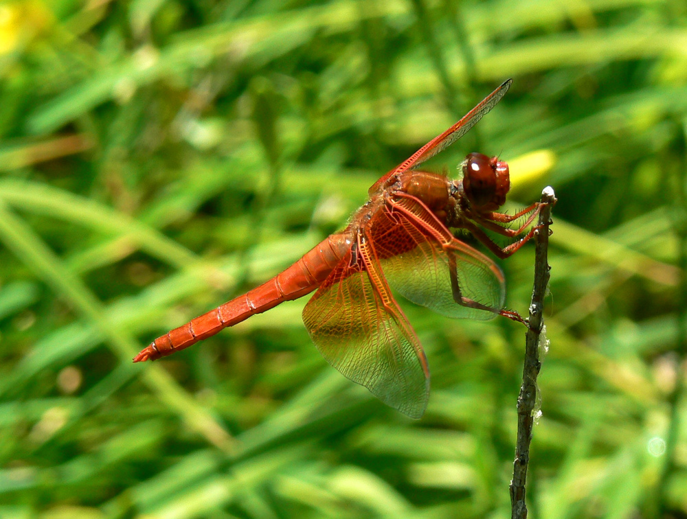 Flame skimmer, Brentwood.