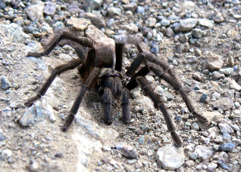 Tarantula, Mt. Diablo State Park.