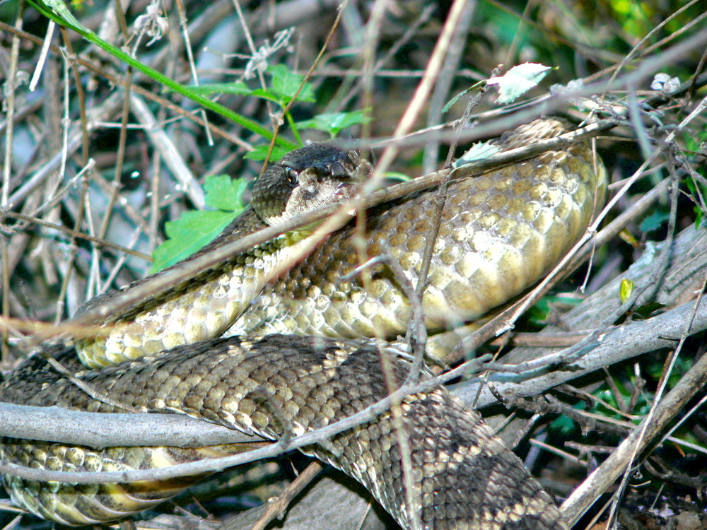 Northern Pacific rattlesnake, Mt. Diablo State Park.