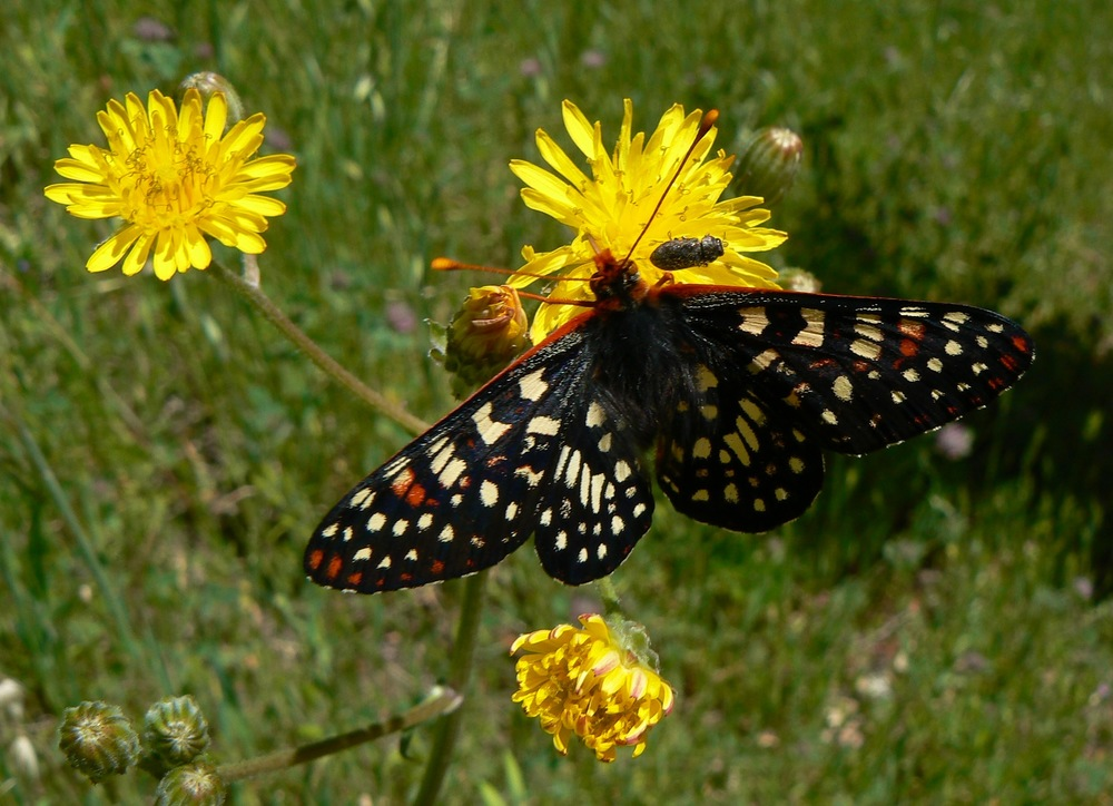 Checkerspot, Sunol Regional Wilderness.