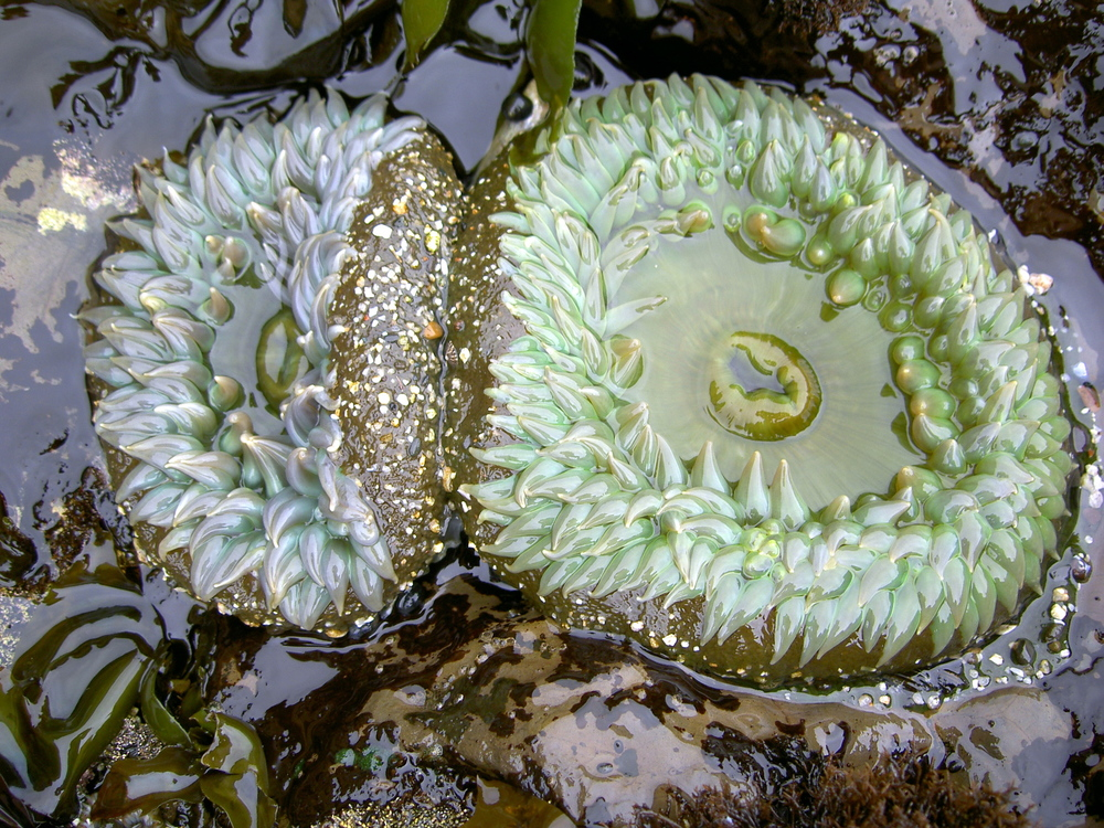 Giant green anemone, Moss Beach.