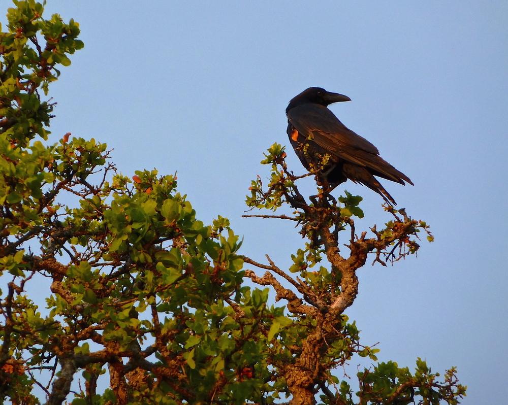 Raven, Round Valley Regional Preserve.