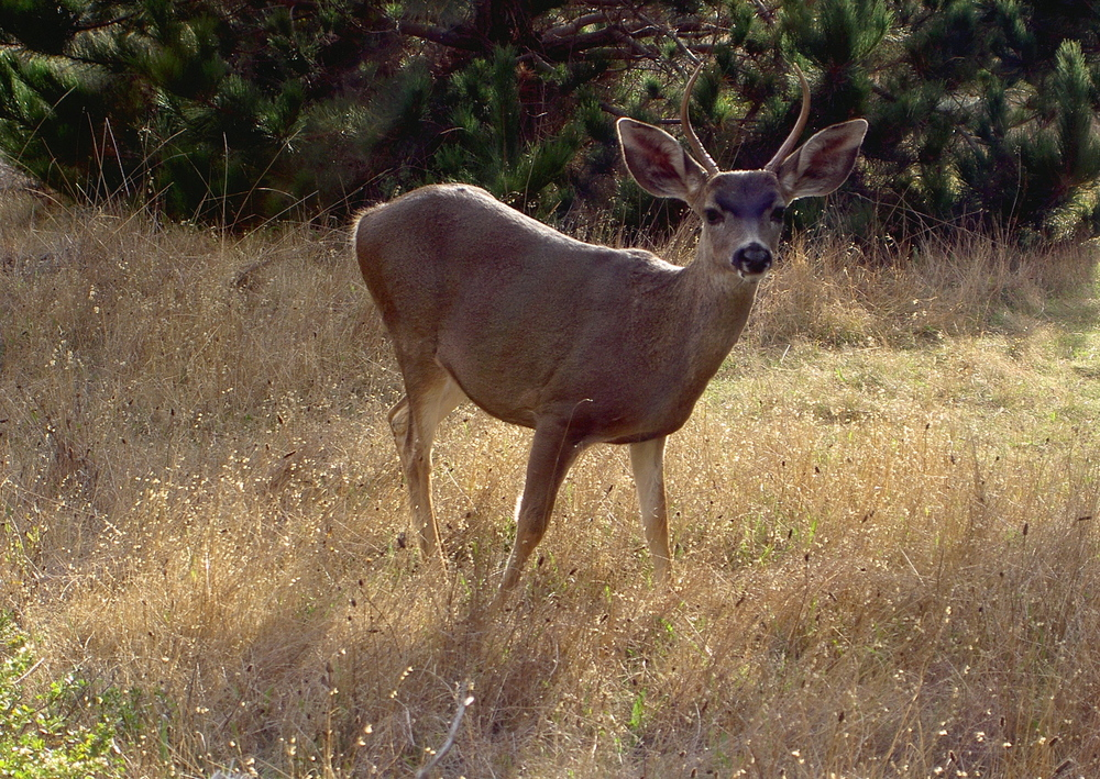 Mule deer, Point Lobos State Reserve.