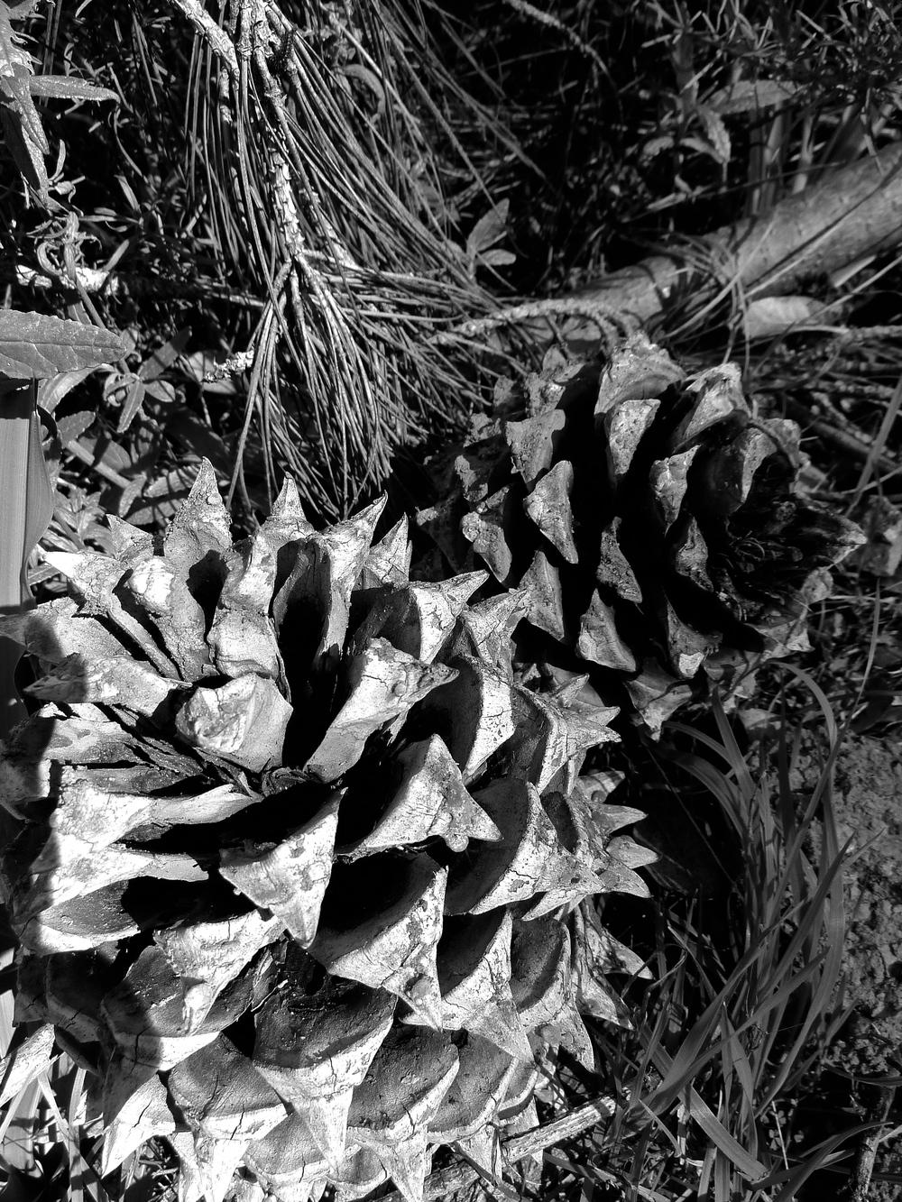 Coulter pine cones, North Peak, Mt. Diablo.