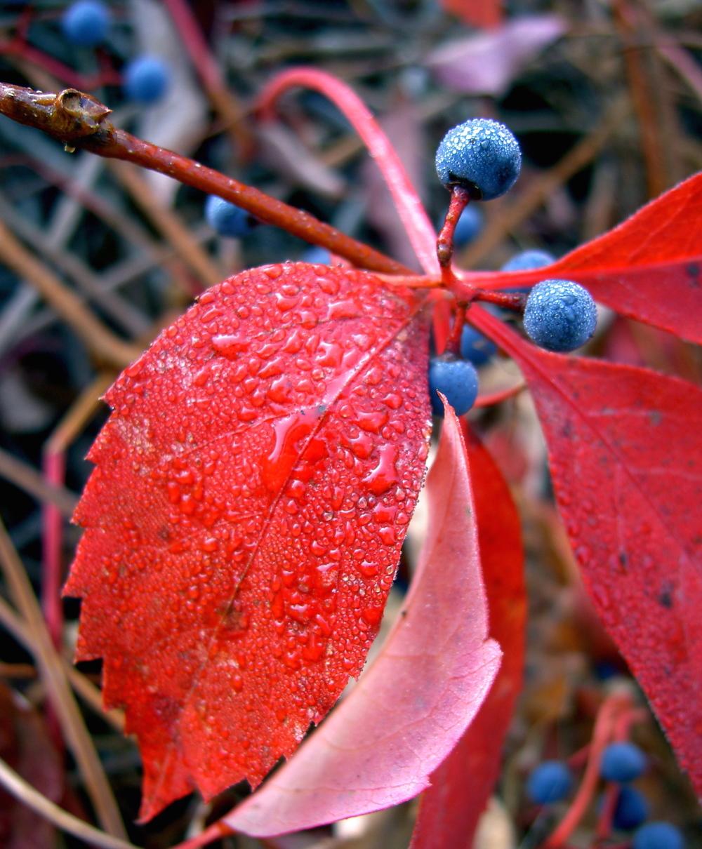 Virginia creeper, autumn morning in Nevada City.
