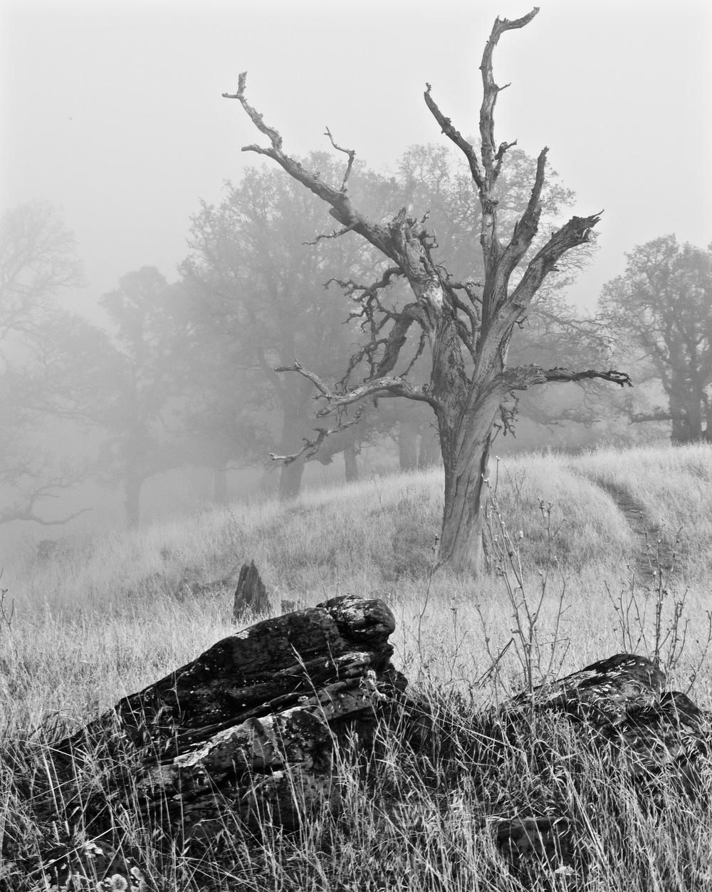 Dead oak in fog,Summit Ridge.