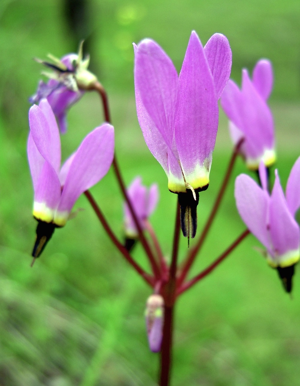 The violet voltage of shooting stars crackles through Mariposa Canyon in spring.