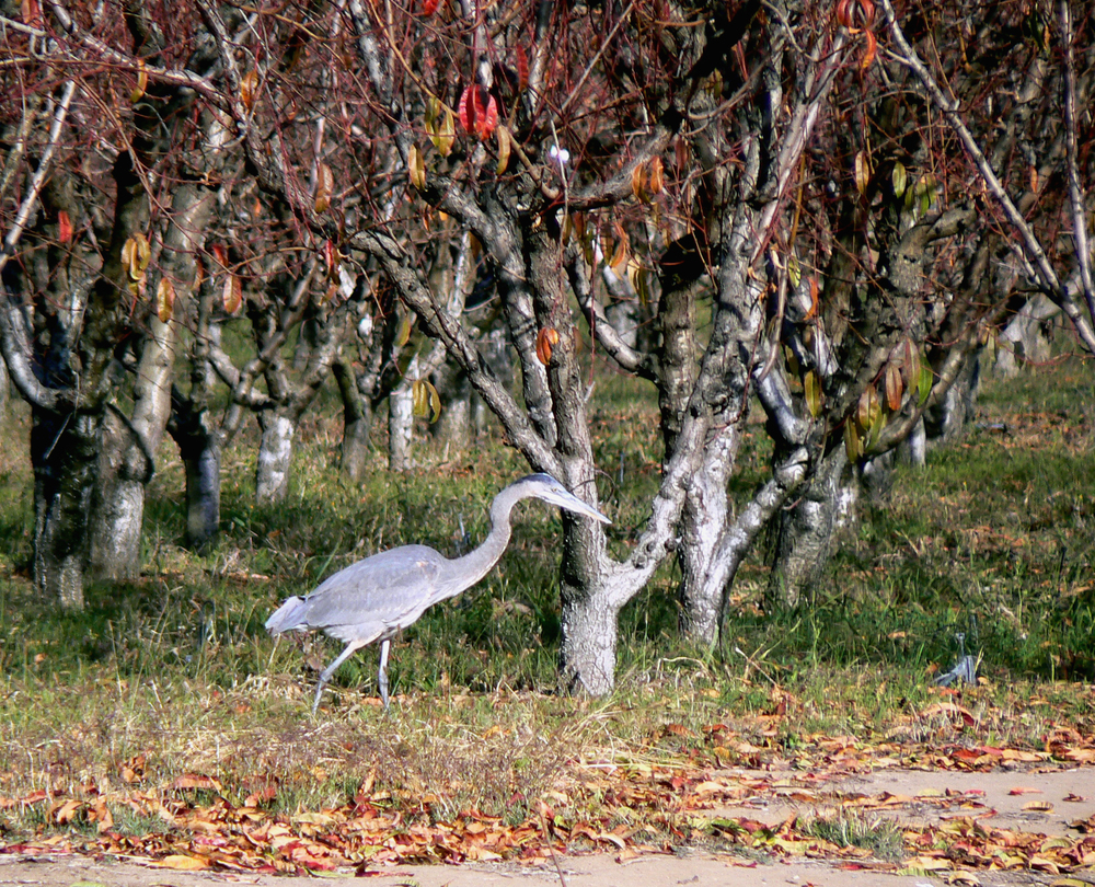 Great blue heron, Marsh Creek Trail, Oakley.