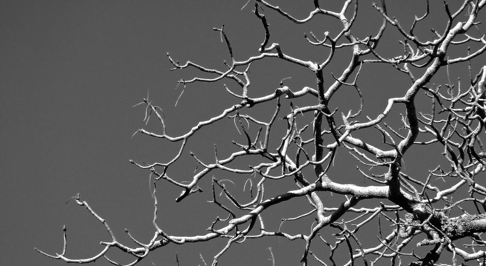 Buckeye branches, Round Valley.