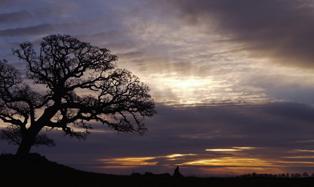 Blue oak, Round Valley summit.