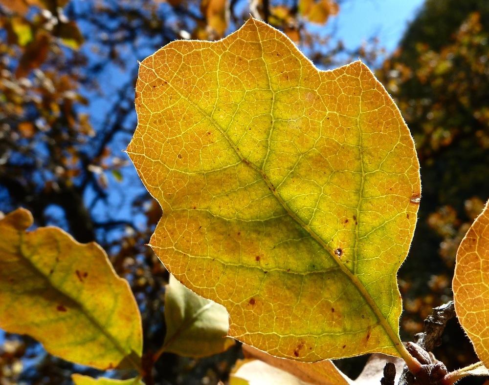 Blue oak in autumn, Round Valley.