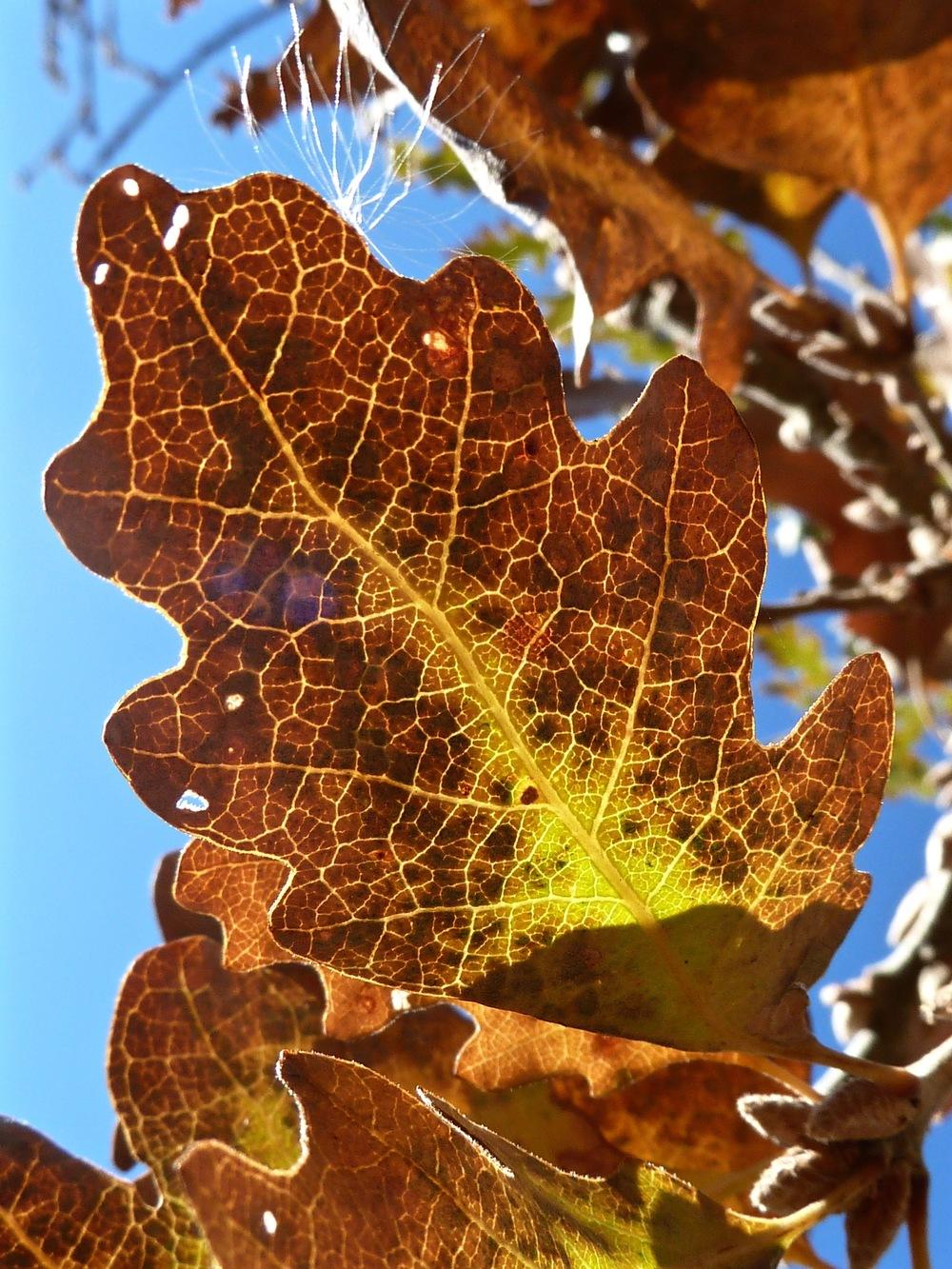 Valley oak in autumn, Round Valley.