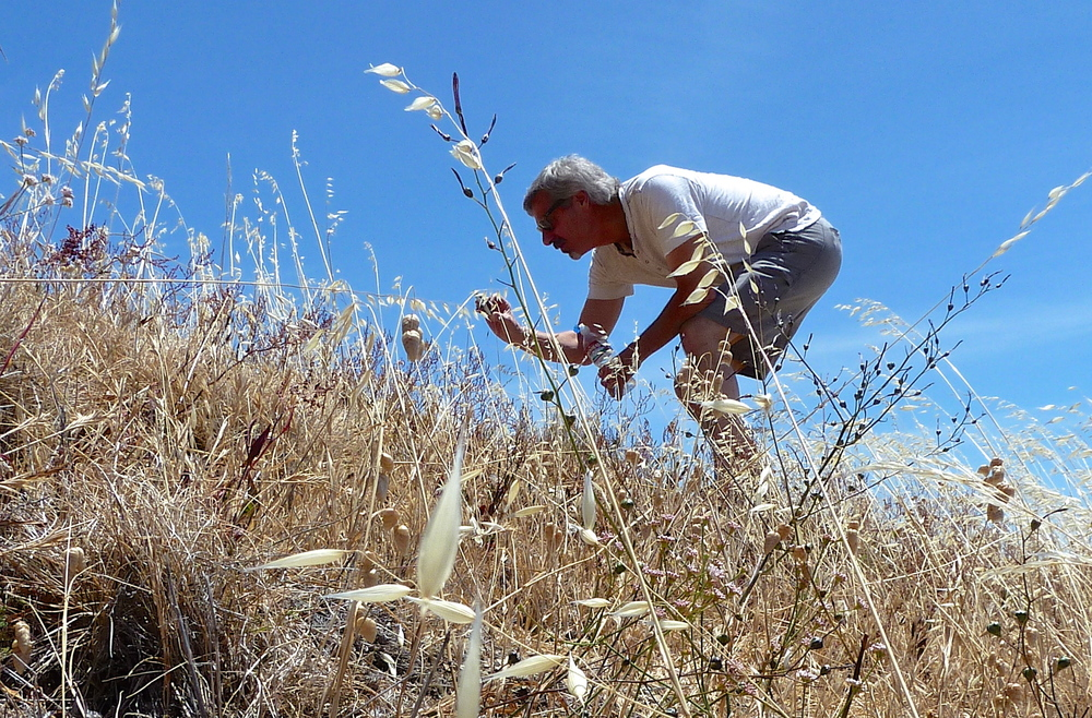 Jim Reese inspects the coastal flora on a hillside at Mt. Tamalpais State Park.
