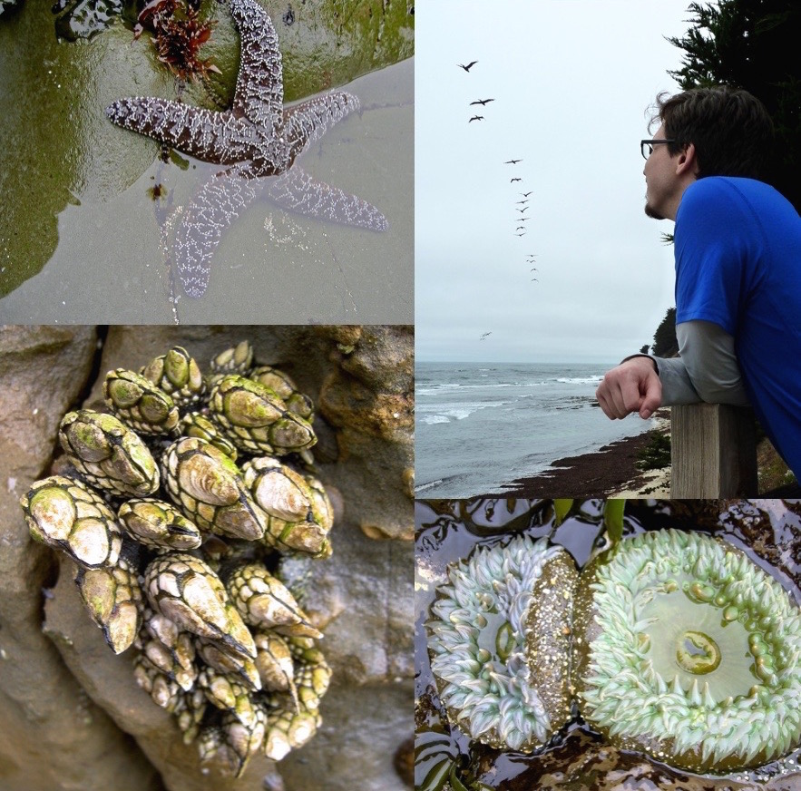 Moss Beach marvels, clockwise from upper left: a purple-colored ochre star lounges in a tide pool; a visitor follows a squadron of pelicans above Seal Cove; giant green anemones flaunt their tentacles; and stalked barnacles cling to a rock face.