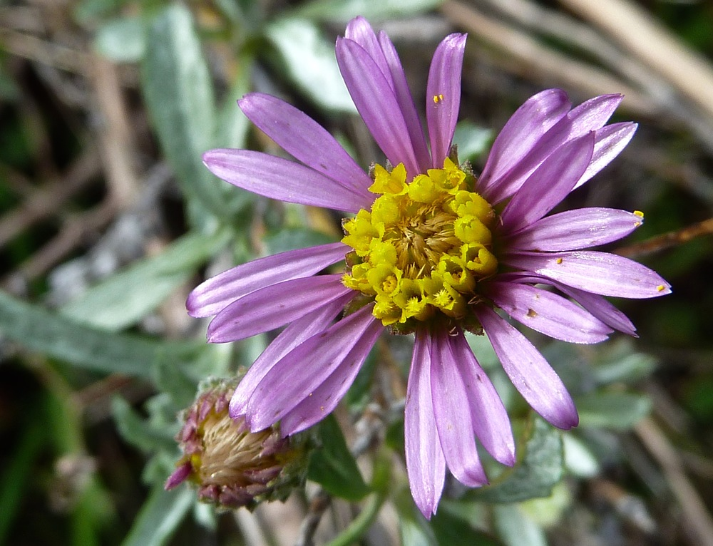 Beach Aster, South Shore Trail.