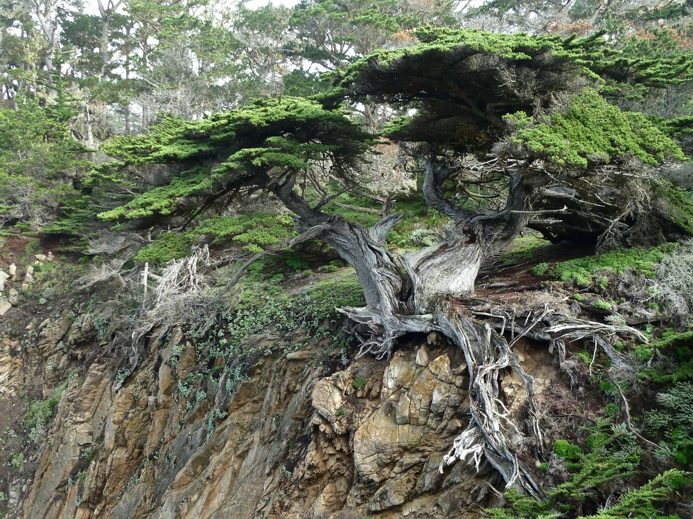 The Monterey Cypress known as Old Veteran clings to the granite of Cypress Cove's east wall in defiance of the wear and tear of wind, rain and gravity.