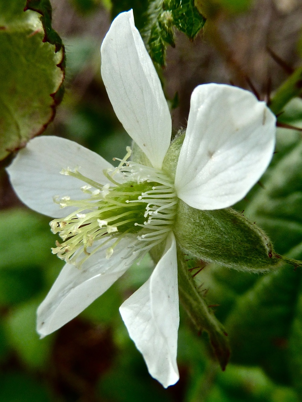 California blackberry blossom, South Shore Trail.