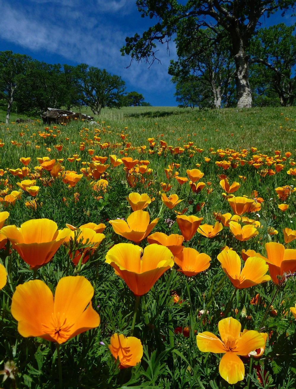 California orange poppies in Hardy Canyon.