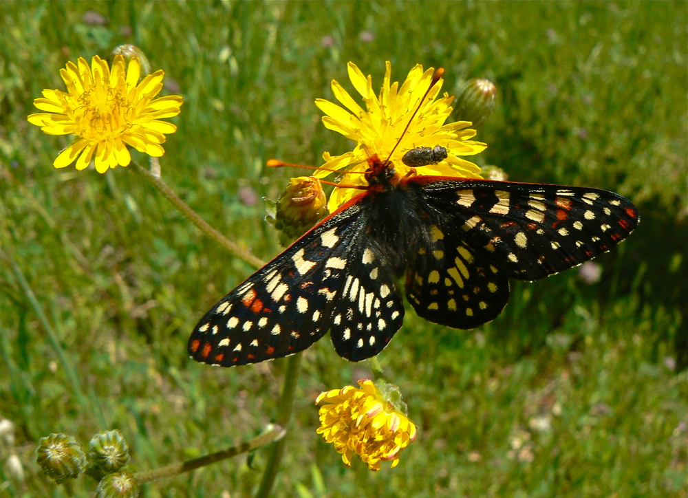A checkerspot savors the flavors of telegraphweed on Indian Joe Creek Trail.