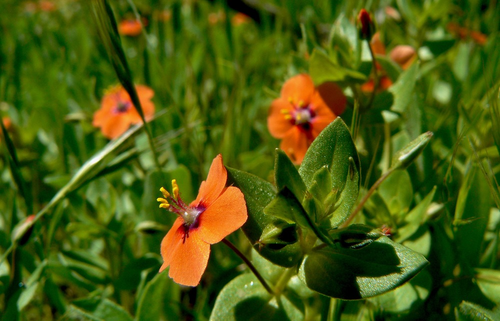 Scarlet pimpernel crowds the shoulder of McCorkle Trail.